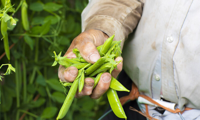 10 29 19 hafa farmer closeup of fresh peas from hafa farm